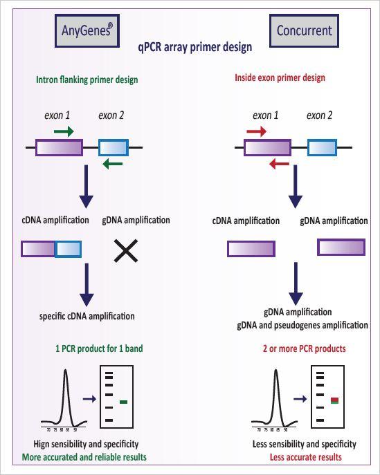 Voies de signalisation Un design strict sur 2 exons pour garantir la haute spécificité de nos primers de qPCR