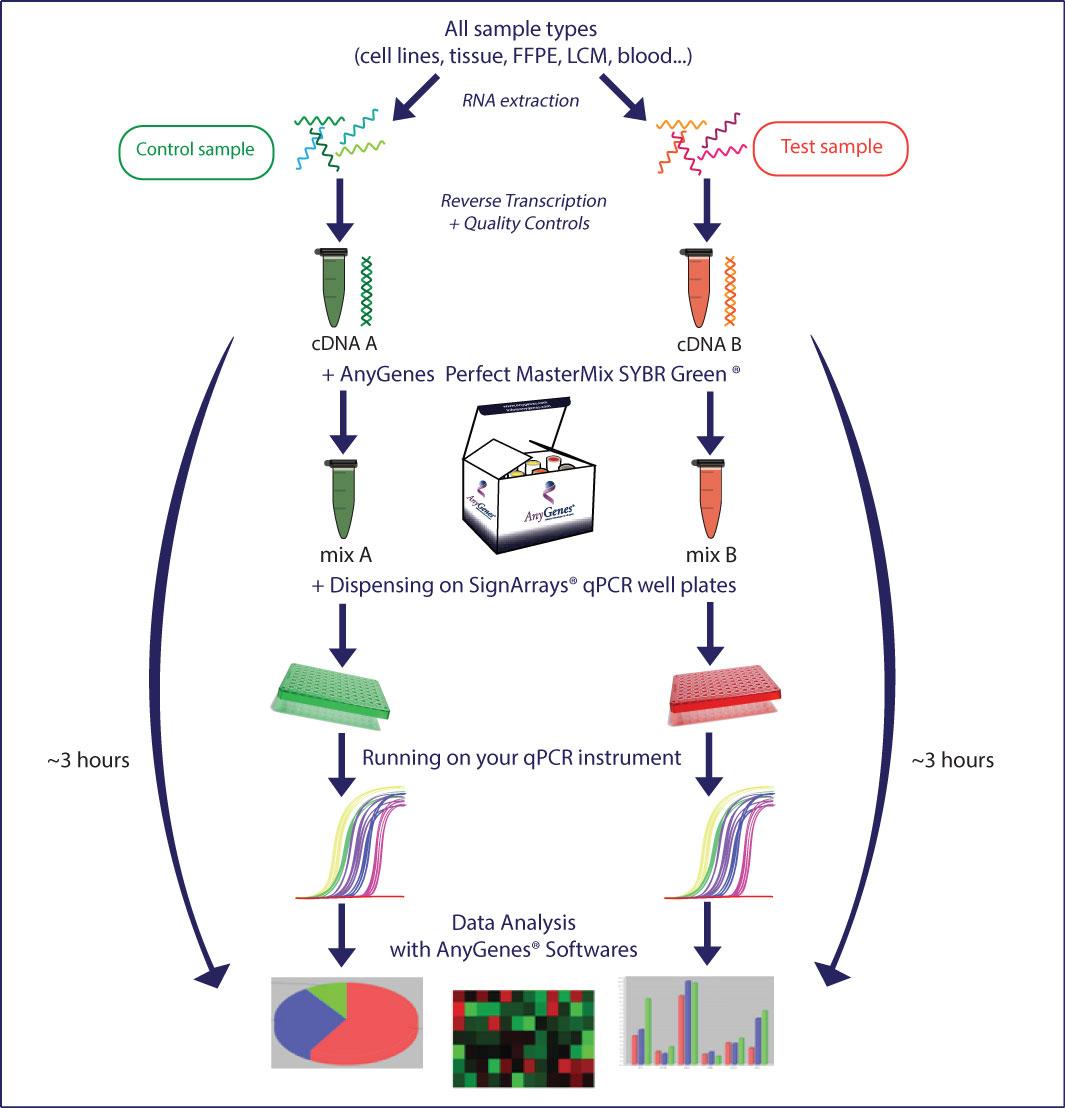 Voies de signalisation Un protocole optimisé pour vous assurer des résultats de qPCR arrays spécifiques de voies de signalisation (SignArrays) en moins de 2 heures ! Anygenes
