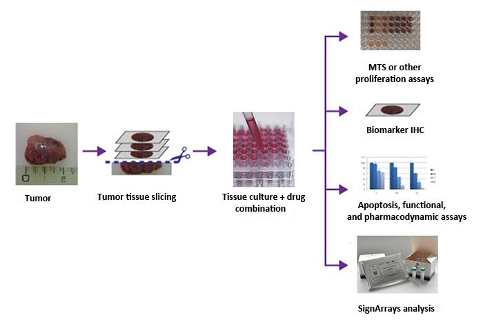 Histoculture Drug Response Assays service is a reliable solution to perform your clinical simulation studies.