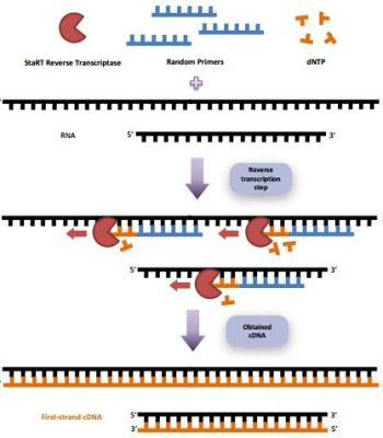 StaRT Reverse Transcription kit is an easy-to-use and flexible system to obtain high yield of first-strand cDNA.